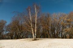 Abedul solo en la nieve Fotos de archivo libres de regalías