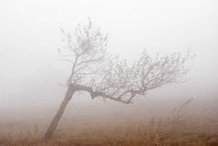 Abedul solo en niebla. Fotos de archivo