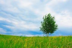 Abedul solo en prado verde Imagen de archivo