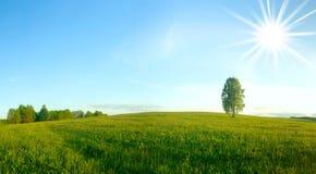 Abedul solo en un campo. Panorama. Imagenes de archivo