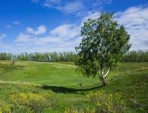 Abedul solo en un valle verde Imagen de archivo libre de regalías