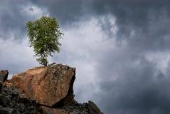Abedul solo en una roca Foto de archivo libre de regalías