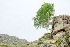 Abedul solo que crece en las rocas Fotografía de archivo