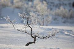 Abedul torcido, pubescens de Betula, en paisaje de la montaña del invierno Imágenes de archivo libres de regalías