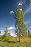 Abedul verde Imagen de archivo