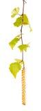 Abedul verde branch_6 Fotografía de archivo