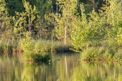 Abedul verde de la primavera Imagenes de archivo