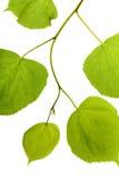 Abedul verde del follaje Imagen de archivo libre de regalías