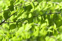 Abedul verde del follaje Foto de archivo