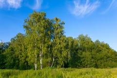 Abedul verde en el borde del bosque Imágenes de archivo libres de regalías
