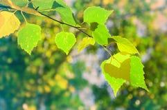 Abedul verde en un bosque Imagenes de archivo
