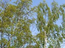 Abedul verrugoso (Betula Pendula Roth) contra el cielo azul Fotos de archivo libres de regalías