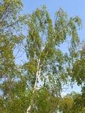 Abedul verrugoso (Betula Pendula Roth) contra el cielo azul Imagenes de archivo