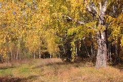 Abedul viejo en birchwood del otoño Fotografía de archivo libre de regalías