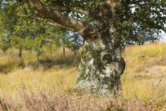 Abedul viejo en el parque nacional Hoge Veluwe Imagen de archivo