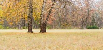Abedul viejo tres entre el claro en parque en día del otoño Foto de archivo