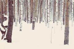 Abedul y álamo temblón en nieve del invierno Imagen de archivo