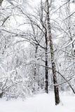 abedul y árboles nieve-encogido de miedos en bosque del invierno Imagen de archivo