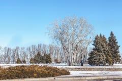 Abedul y abetos en parque de la ciudad del invierno Fotografía de archivo libre de regalías