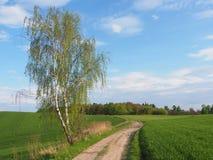 Abedul y camino en primavera Fotografía de archivo