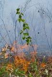 Abedul y fuego jovenes 6 Fotos de archivo
