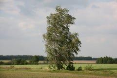Abedul y fuerte viento solos Foto de archivo libre de regalías