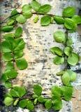 Abedul y hojas del fondo Foto de archivo