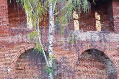 Abedul y pared de ladrillo Fotos de archivo libres de regalías