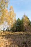Abedul y pino en el bosque del otoño Fotos de archivo libres de regalías