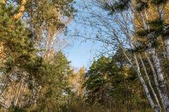 Abedul y pino en el bosque del otoño Fotografía de archivo libre de regalías