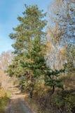 Abedul y pino en el bosque del otoño Fotografía de archivo