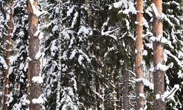 Abedul y pino nevados Foto de archivo