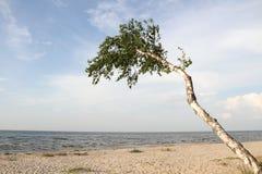 Abedul y playa. Imágenes de archivo libres de regalías