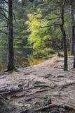 Abedul y raíces del otoño en el lago Garten en el parque nacional de Cairngorms de Escocia Fotografía de archivo libre de regalías