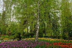 Abedul y tulipanes Fotografía de archivo