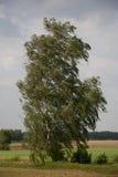 Abedul y viento solos Fotografía de archivo libre de regalías