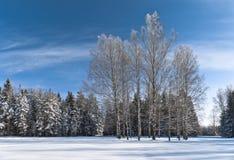 Abedules al lado del bosque del invierno Imagenes de archivo