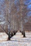Abedules al principio del invierno Fotografía de archivo