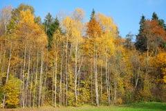 Abedules amarillos. Imagen de archivo libre de regalías