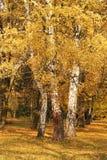 Abedules amarillos Imagen de archivo libre de regalías