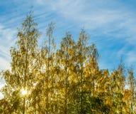 Abedules amarillos del otoño contra el sol Imagenes de archivo