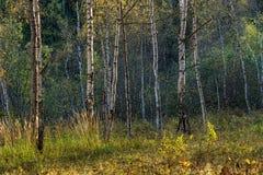 Abedules amarillos en el bosque del otoño Imágenes de archivo libres de regalías