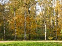 Abedules amarillos, otoño Imagen de archivo