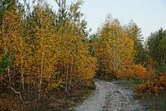 Abedules amarillos y arbustos al borde de un bosque con un camino arenoso Fotografía de archivo