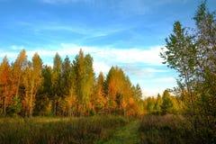 Abedules amarillos y camino en bosque Fotografía de archivo