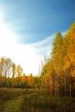 Abedules amarillos y camino en bosque Fotos de archivo