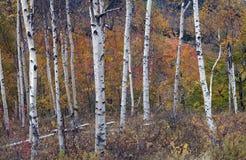 Abedules blancos contra las hojas coloreadas Fotografía de archivo