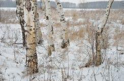 Abedules blancos en campo del invierno Imágenes de archivo libres de regalías