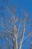 Abedules blancos en fondo del cielo azul Imagen de archivo