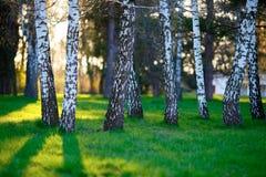 Abedules blancos en parque soleado Imagen de archivo libre de regalías